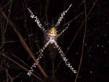 Argiopes Spider